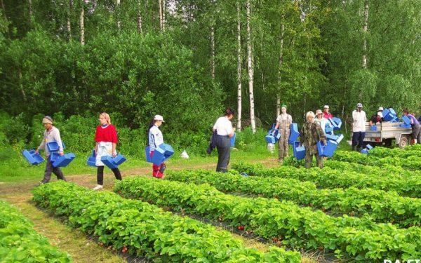 сезонный сбор ягод